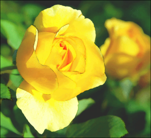 yellow_rose_2