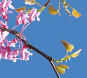 redbud_tree_with_young_leaves