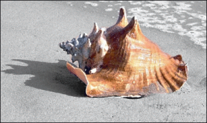 Whelk_on_beach