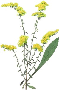 Field_Goldenrod