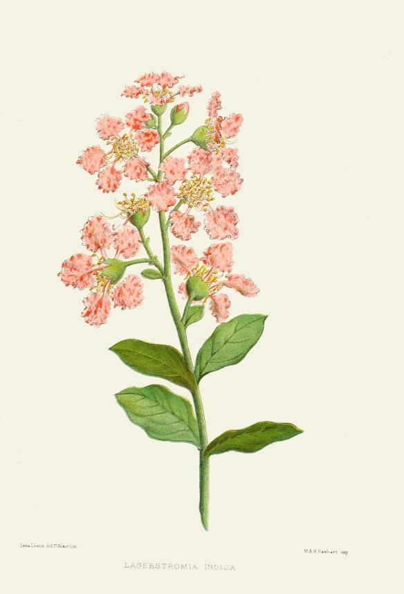 lagerstromia-indica