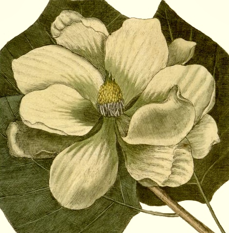 magnolia-tree-flower