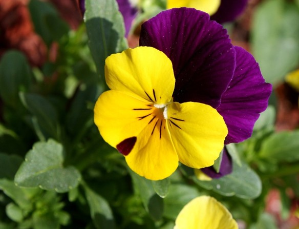 pansies_purple_yellow